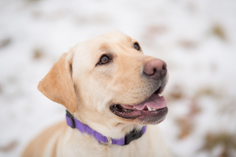 NH Winter Dog Portrait Photography Session with Nellie the Labrador